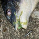 浜名湖でフリーリグでチヌ釣れてますよ!